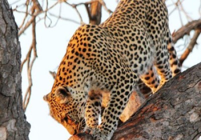 Brilliant sighting of Leopard